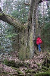 Tree_hugger_500_years_old_David_D_downie