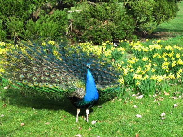Peacock, Bagatelle, Paris, Romance, A Passion for Paris, Alison Harris, David Downie
