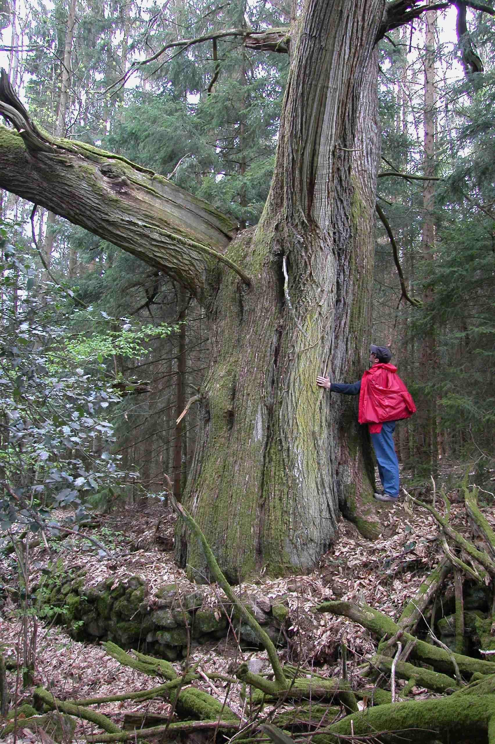 Tree_hugger_500_years_old_David_D_downie